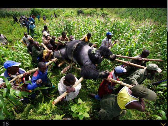 Вынос гориллы, убитой пулей, 2007 год, Демократическая Республика Конго Бре